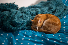Seventy One / Year Two. (evilibby) Tags: sleeping cat sleep turquoise whiskers catnap sleepy polkadots blanket duvet mybedroom hemma gingercat project365 barnabee