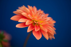 Native (Pensive glance) Tags: dahlia plant flower nature fleur plante ngc flowersarebeautiful excellentsflowers mimamorflowers flickrflorescloseupmacros onlythebestofflickr
