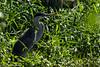 DSC01773 (Mario C Bucci) Tags: verde do eduardo garça tuiuiu dinan bigua banhado ratão anhambi tanquã tanquan