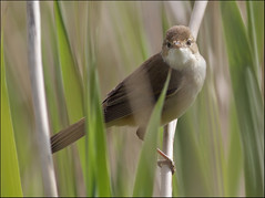 Reed warbler (Paul Green Photography) Tags: nature wildlife reedwarbler nbw paulgreenbirdphotography wwwpaulgreenorg