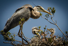 Two of at least three...and the parent (KaroliK) Tags: spring nest greatblueheron nestling 2013