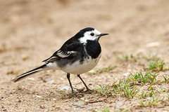 Pied Wagtail (Glen Crowe) Tags: birds canon wildlife pied cambridgeshire wagtail
