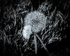 mother and child (Port View) Tags: closeup spring dandelion dandelions fujix10