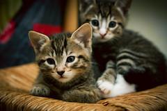 Soft kitty, warm kitty .. (* C h l o ) Tags: cute cat fur furry warm soft babies little adorable kitty fluffy sleepy kawaii