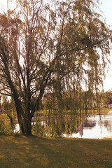 Willow (nicoleespich) Tags: lake tree weepingwillow willowtree
