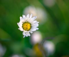 What a bee sees (GeorgeOfTheGorge) Tags: macro backlight oregon whiteflower unitedstates seeds bloom pollen pollenation lateafternoon cascadelocks vientostatepark nikkor85mmpce
