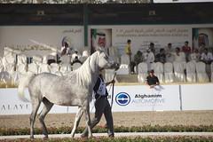 horse (kaabodhom86) Tags: horse animal kuwait kuw arabhorse