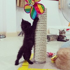 ถึงเวลาน้องเล่นบ้าง #ชมรมคนรักแมวอ้วนแห่งประเทศไทย #ดอกรัก #เปอร์เซีย #เพศเมีย