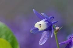 /Aquilegia flabellata var. flabellata (nobuflickr) Tags: aquilegia columbine  awesomeblossoms aquilegiaflabellatavarflabellata  20130504dsc09756