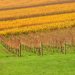 Wild Dog Winery [Explored] (phunnyfotos) Tags: autumn color colour vineyard vines nikon pattern patterns australia victoria winery rows vic gippsland warragul westgippsland d5100 wilddogwinery nikond5100 phunnyfotos