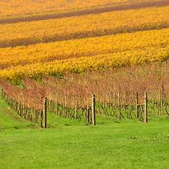 W i l d  D o g  W i n e r y  [Explored] (phunnyfotos) Tags: autumn color colour vineyard vines nikon pattern patterns australia victoria winery rows vic gippsland warragul westgippsland d5100 wilddogwinery nikond5100 phunnyfotos gippypics