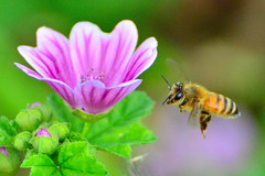 () / Honeybee and Common Mallow (Dakiny) Tags: plant flower nature animal animals june japan insect bee mallow yokohama   honeybee      commonmallow 2013  highmallow aobaku   2013 bluemallow  ichigaocho