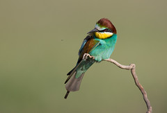 Bee-eater watching insect go by