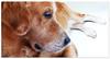 Golden day 0159 (willfire) Tags: dog pet goldenretriever singapore dogdayafternoon willfire
