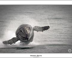 Happy Days #Explore (John_Armytage) Tags: ocean sea interesting wildlife australia explore nsw whale humpbackwhale nelsonbay whalewatching shoalbay canon400mmf56lusm northcoastnsw mvspirit canon7d johnarmytage wwwjohnarmytagephotographycom tamboiqueencruises