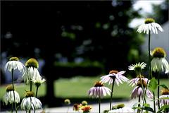 Coneflowers (joeldinda) Tags: flower garden raw coneflowers d300 joeldinda
