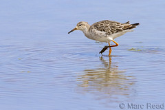Ruff,  Philomachus pugnax (Marc Read Bird Photography T: @readbirdphotos) Tags: adult norfolk ruff moulting titchwell rspb philomachuspugnax canon400mmf28 canon7d