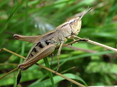 Grasshopper 04 (Magic Moments by Pippa) Tags: macro nature closeup wildlife insects cricket british grasshopper grasshoppers