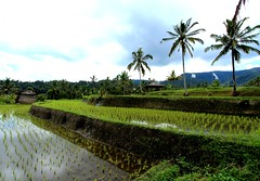 Rice fields in Bali (VincentDcs) Tags: bali canon indonesia landscape photography photo photos palmtree ricefield canon1022 600d munduk canon600d