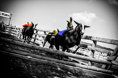 Sheeplechase (Mad_m4tty) Tags: blackandwhite bw colour bunny fun mono jumping sheep action farm fences racing jockey obstacle selective barnsley cannonhall