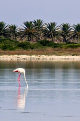 Fenicottero in vacanza (succedeancheame) Tags: sardegna summer italy holiday italia sardinia estate sale flamingo rosa su palme flamenco vacanza sar vacanze italiana uccello oristano fenicotteri stagno estivo porcus zenti pallosu arrubia