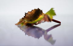 Begonia leaf (Elisafox22) Tags: autumn macro beautiful lens leaf sony begonia f35 e30mm blinkagain nex6 bestofblinkwinners blinksuperstars