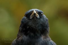 Crow (Sean McCann (ibycter.com)) Tags: crow