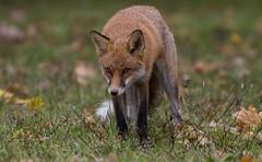 Rotfuchs (Vulpes vulpes) (Extrud) Tags: animal animals vulpesvulpes 400mm ef400mmf56