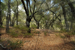 The Oaks (DirtyBootPrints) Tags: california wood travel autumn trees wild motion west tree art fall nature leaves forest walking landscape living movement oak woods nikon october alone quiet peace natural artistic zoom walk live watch warp hike imagination wilderness oaks crackle listen