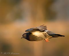 Pretty Bird! (Rick Smotherman) Tags: sky fall nature birds canon outdoors morninglight october day wildlife flight 7d birdsinflight canon300mmf4l missouribirds canon7d canon14teleconverter