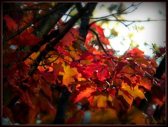 Spot of Autumn Color (MissyPenny) Tags: autumn trees red orange fall leaves pennsylvania buckscounty bristolpennsylvania kodakz990 pdlaich