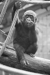 Gorilla Kid (Michael Angst Photography) Tags: world blackandwhite baby cute love look animal animals canon zoo eyes gorilla zurich mother 300mm human 1d planet weiss animalplanet schwarz zoolife animalworld tierwelt zoozrich zoowelt zooleben