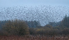 Murmurations (AndydS6) Tags: derbyshire north starling moor middleton murmurations