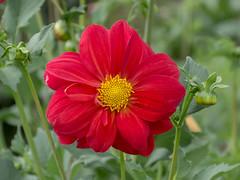 Dahlia in my garden (PriscillaBurcher) Tags: dahlia dalia l1140262