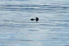 _MG_3350a (markbyzewski) Tags: alaska ugly seaotter glacierbaynationalpark