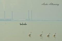 Flamingo fishing boat (Aisha Altamimy) Tags: sea birds fishing afternoon gulf flamingo kuwait q8 chesthospital