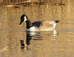 Canada Goose Branta canadensis 0011 (cwoodend..........Thanks) Tags: carlton goose canadagoose brantacanadensis brandonmarsh