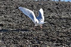 Wings (Tynan Phillips) Tags: sea food seagulls canada bird beach nature birds animal animals flying wings bc britishcolumbia wildlife seagull gull gulls flight feathers denmanisland
