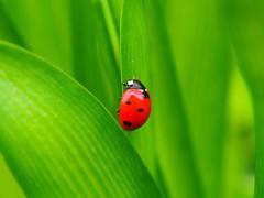 ladybug # 2 (quarzonero ...Aldo A...) Tags: ladybug coccinella nature natura bej coth coth5 supershot blinkagain sunrays5 ngc npc