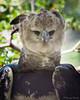 Harpy Eagle / Aguila Harpia by N3ptun0 on Flickr. (julieforever89) Tags: by flickr eagle harpy aguila harpia n3ptun0