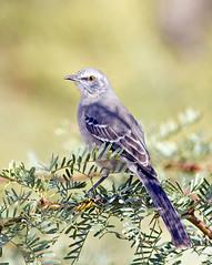Mockingbird (Ed Sivon) Tags: vegas southwest bird nature canon lasvegas wildlife 300mm nevadadesert clarkcounty