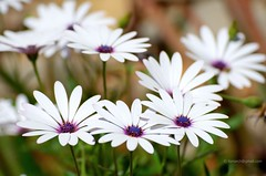 Well, it's spring . African Daisy / Dimorphoteca pluvialis 0173je (antarc foto) Tags: spring catalonia catalunya africandaisy pluvialis catalogne dimorphoteca margaritaafricana weatherprophet calnduladelcabo caperaindaisy
