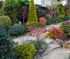 Garden colours in mid spring (Four Seasons Garden) Tags: uk england silver garden four spring seasons april japonica flaming walsall pieris fourseasonsgarden