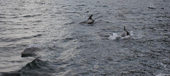 Dolphins in Loch Scavaig, Skye (charlieinlesmahagow) Tags: life old sunset wild mountains skye castles tourism nature beautiful boats scotland pod ancient isleofskye natural unique wildlife munroe scenic scottish sunsets tourist tourists best historic dolphins stunning beaches destination fishingboats habitat visitor westcoast atlanticocean ferries portree broadford attraction seaview seacreatures hebrides interestingplaces lochalsh cuillin elgol munroes historicmonuments blackcuillin scavaig kyleoflochalsh eileendonan babydolphin seaviews cuilin placesofinterest islandofskye placestovisit innerhebridies lochscavaig sealochs medeviel greatsunsets bestsunsets smallferries greatestsunsets charlieinlesmahagow greatestisland