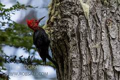 Magellanic Woodpecker (robsall) Tags: patagonia bird southamerica argentina birds tierradelfuego ushuaia woodpecker birding aves ave woodpeckers archipelago woodywoodpecker tierradelfuegonationalpark landoffire campephilusmagellanicus magellanicwoodpecker islagrandedetierradelfuego tierradelfuegoprovince robsall robsallwildlifephotography robsallphotography magellanicwoodpeckers