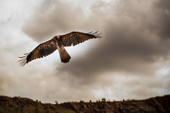 Whistling Kite Alice Spring Desert Park (terrencechuapengqui) Tags: park kite bird desert alice wildlife australia ranges springs northern territory macdonnell