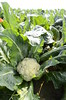 organic-cauliflower-harvest-02-19-15gt_DSC6870 (Jordan College of Ag Sciences and Technology) Tags: plant state science fresno cauliflower organic nitrogen josue cit leaching nitrate samano