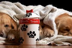 Fractured Foto (bztraining) Tags: dog golden retriever henry blanket jar zachary ddc odc