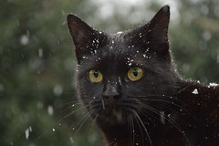Snowing! (Leela Channer) Tags: winter cats white snow black france cute green nature up animal animals yellow cat eyes feline close bokeh frosty snowing paws february creature felid