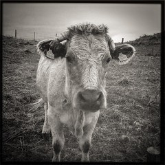 Moo! (soilse) Tags: blackandwhite field grass animals cheese fence fur bigeyes countryside cow milk seaside farm tag farming horns moo lightleaks squareformat stare agriculture phonecamera bovine mobilecamera grazing mobilephonecamera donegal agricultural phonephoto cellphonecamera iphone horned identificationtag eartag bó 2013 0095 hornedcow identitytag dúnnangall tírchonaill therosses iphonephoto iphonecamera iphoneapp iphonography irishfarming irishfarm narosa taggedanimal ballymanus hipstamatic hipstamaticapp hipstamaticcamera eallach adharca bólehadharca adharc bailemhánais ie16167913